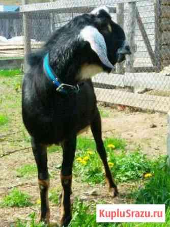 Процентные нубийские козы, козлята и козел Кострома