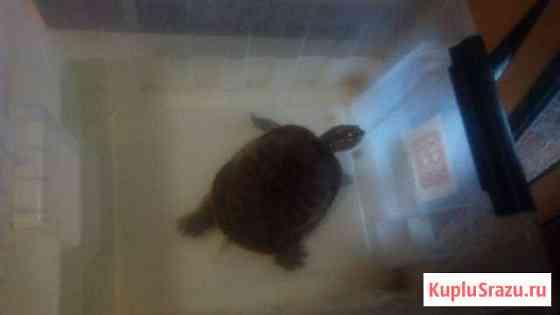Черепаха Москва