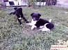 Щенки от домашней небольшой собаки