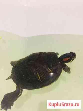 Красноухая черепаха Набережные Челны
