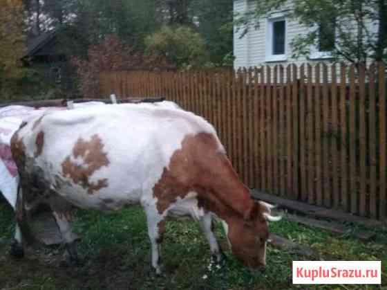 Корова Сосновоборск