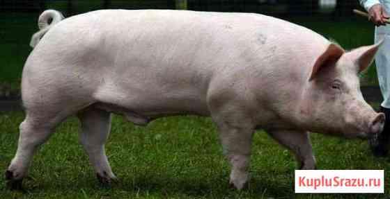Домашняя мясо свинина Терновка