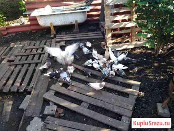 Продам голубей Белгород
