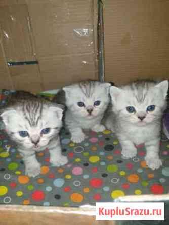 Шотландские котята Гвардейск