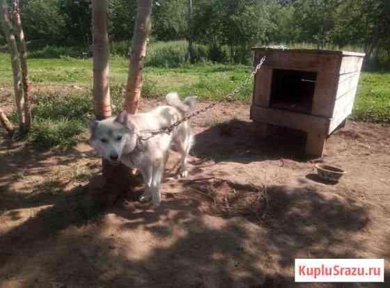 Собачья упряжка, Камчатская ездовая, в добрые руки Петропавловск-Камчатский