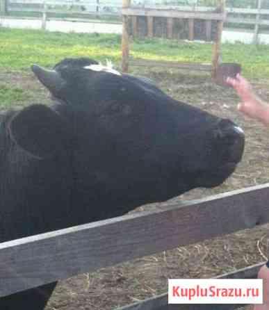 Два бычка на мясо Кадников