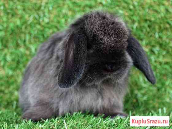 Карликовые кролики породы Mini Lop Москва