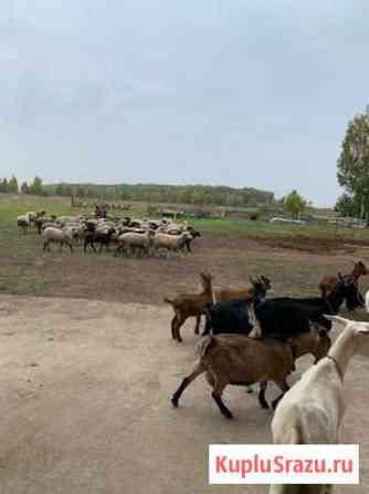 Баранина. Живой вес/парное мясо Домодедово