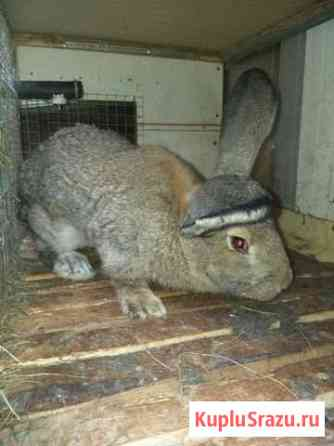 Продам кроликов породы Фландэр Челябинск