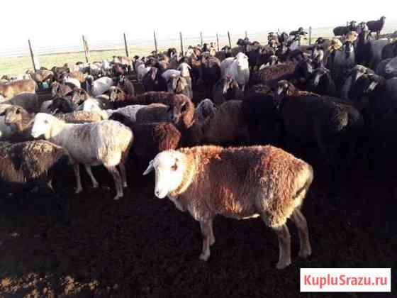 Овцематки Элиста