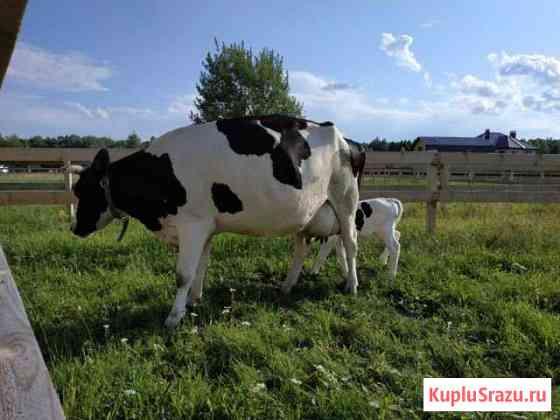 Телята Голштинской породы, дойные коровы Белоозёрский
