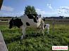 Телята Голштинской породы, дойные коровы