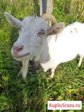 Продам козу дойная, связи с переездом Обращайтесь Парфино