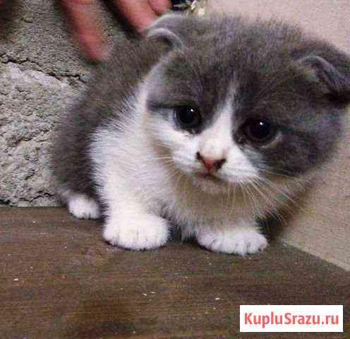 Шотландские котята Майкоп