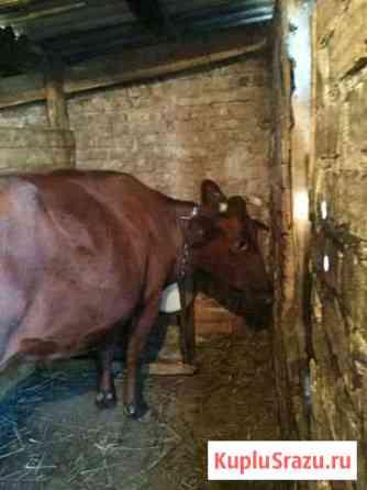 Корова Нарткала