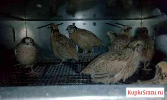 Инкубационное яйцо перепелов породы Феникс Нижний Новгород