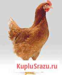 Продам куриц-несушек Улан-Удэ