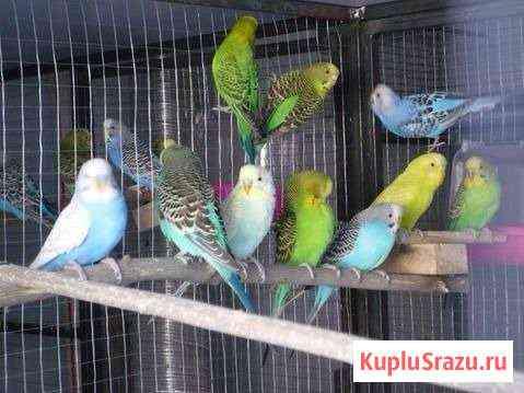 Волнистые попугаи Екатеринбург