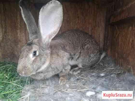 Продам кроликов-производителей Иваново