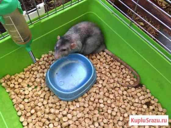Голубая крыса Ковылкино