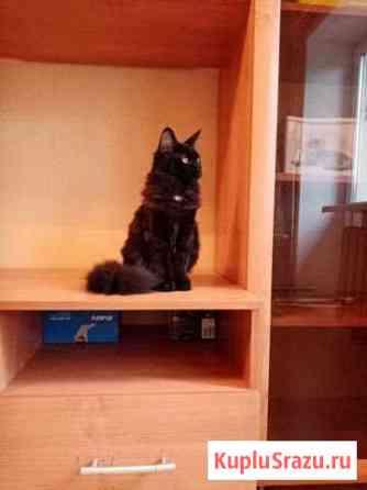 Мейнкуна котята черные,девочка Вологда