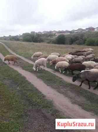 Овцы Брянск