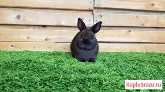 Шokoладная карликовая девочка кролик Екатеринбург