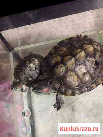 Черепаха Казань