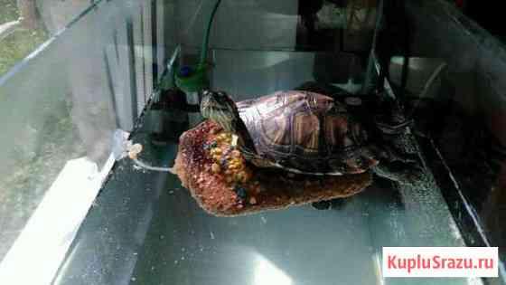 Красноухая черепаха Москва