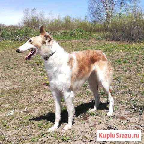 Русские псовые борзые Петропавловск-Камчатский