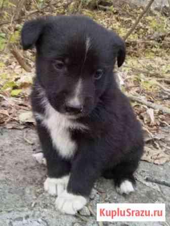 Отдам красивых щенков в хорошие руки Кирово-Чепецк