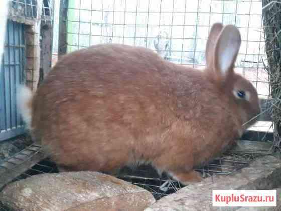 Новозеланские кролики Нижний Новгород