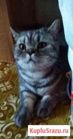 Кошка шотланская 1,5г Томск