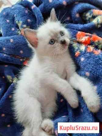 Тайские котята Астрахань