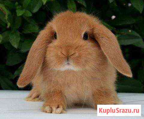 Декоративные кролики Смоленск
