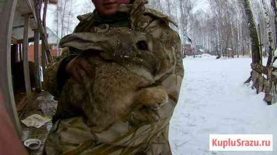 Кролики на разведение, возможен обмен Майма