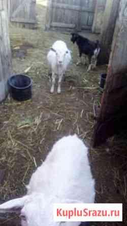 Козочка и козёл Домна