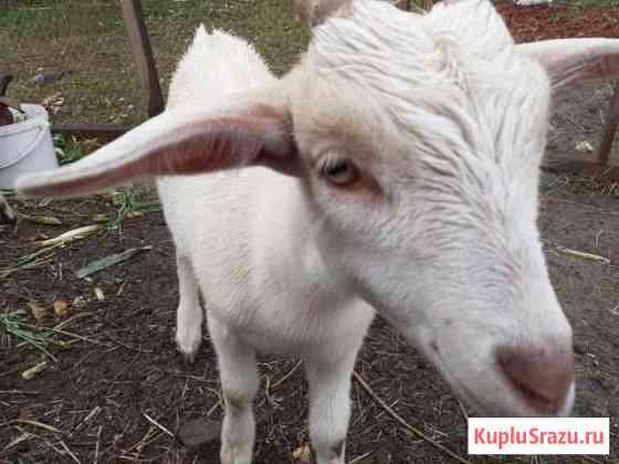 Продам козу или меняю на козлика Северск