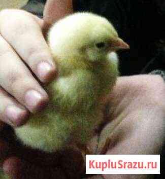 Цыплёнок, цыплята бройлера, перепёлка, индюшата по Йошкар-Ола