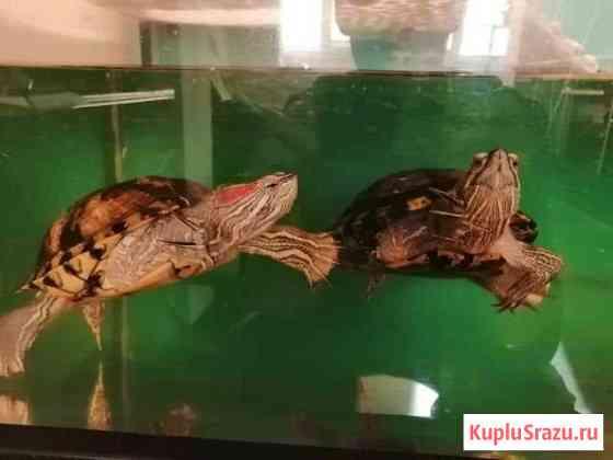 Черепаха красноухая Иркутск