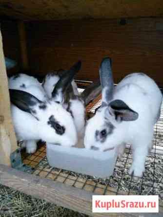 Кролики породы рекс Омск