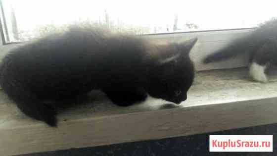 Отдам двух чёрных котят Чита