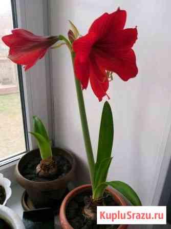 Цветы комнатные, луковицы гиппеаструма Майма