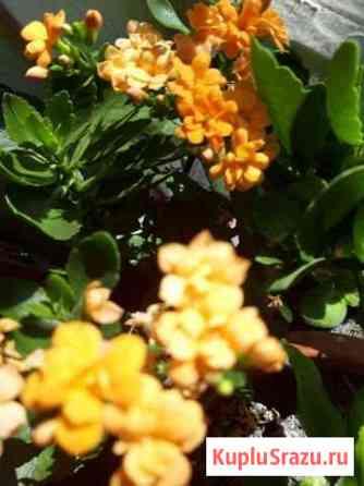 Отростки цветов Иланский