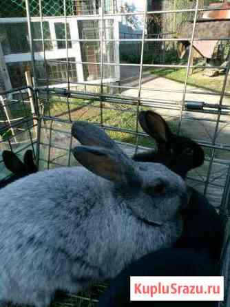 Кролики Майкоп