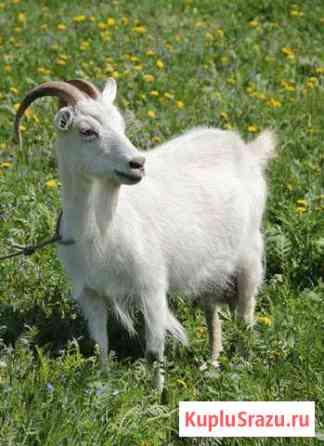 Породистые козы Милославское