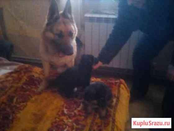 Продам щенков Курчатов