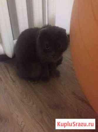 Кошка шотландская Черкесск