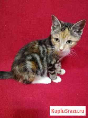 Милая трехцветная девочка котёнок Биробиджан