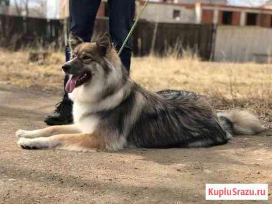 Стерелизованная собака- охранница Биробиджан